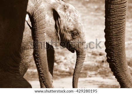 A herd of elephant walk towards the camera. They surrounding and protecting the new baby elephant. Taken in South Africa - stock photo