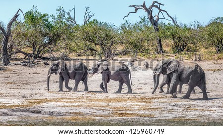 A herd of elephants are on the river bank in the Chobe National Park - Botswana, South-West Africa - stock photo