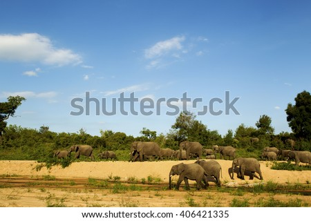 A herd of elephants walking along the banks of a dried river bed in Kruger National park - stock photo