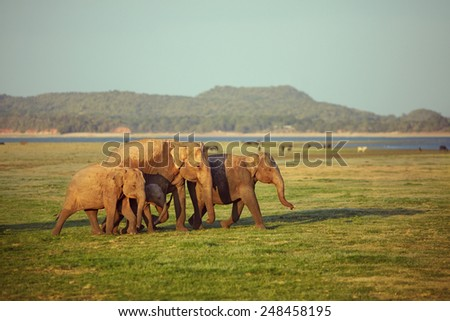A herd of elephants walking from left to right - stock photo
