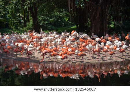 A herd of flamingos