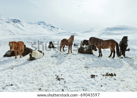 A herd of free-roaming Icelandic horses in the wintertime - stock photo