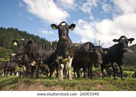 A herd of Friesian cows in a field.