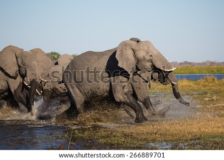 A herd of frightened elephants running through shallow water in the Linyanti swamps - stock photo