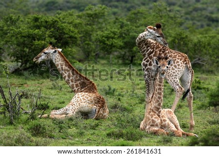 A herd of Giraffe sitting and standing.