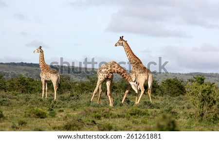 A herd of Giraffe with two males neck fighting - stock photo