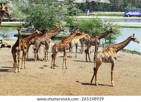 A herd of giraffes in a zoo in Thailand in Bangkok - stock photo