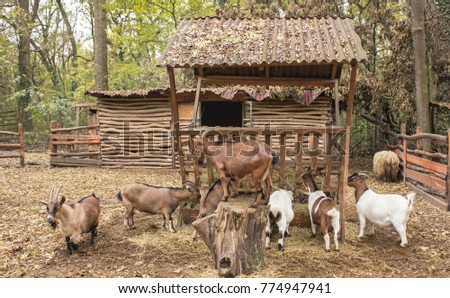A Herd Of Goats In Pen With Leader The Rest Eat
