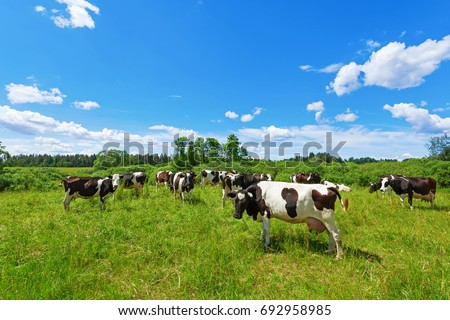 A herd of Holstein Fresian cows grazing on a pasture under blue cloudy sky