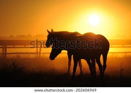 A herd of horses at dawn. Horses come in a landscape at sunrise, silhouette  - stock photo
