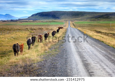 A herd of Icelandic ponies moving along gravel road in Iceland countryside - stock photo