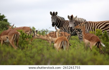 A herd of impala and a herd of zebra mixed together in this image. - stock photo