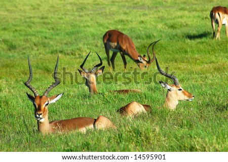 A herd of Impala antelopes resting in a game park in South Africa - stock photo