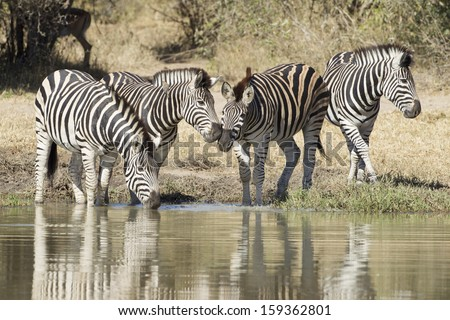 A herd of Plains or common Zebra drinking water from a natural pan in South Africa's Kruger Park - stock photo