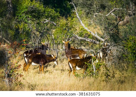 A herd of rare sable antelopes (Hippotragus niger) in african forest. Okavango delta, Botswana. - stock photo