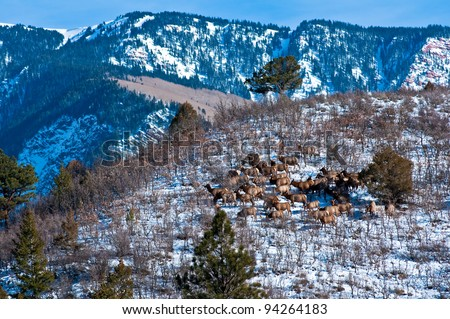 A herd of rocky mountain elk (Cervus canadensis nelsoni) sunning on hillside in Colorado, approximately 50 cows and calves. - stock photo