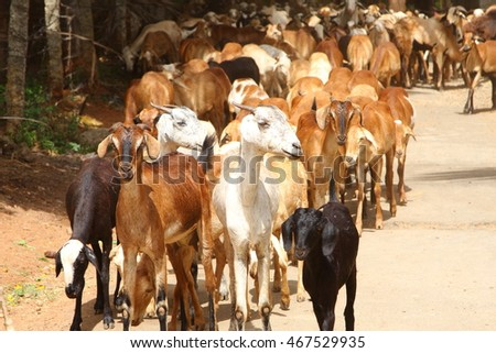 A herd of sheep on the county side in India,shallow depth of field photograph.