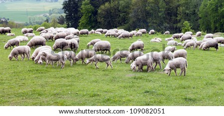 A herd of sheep on the meadow - stock photo