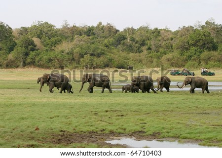 A herd of Sri Lankan elephant (the largest of four subspecies of the Asian elephant) in the Minneriya National Park, Sri Lanka