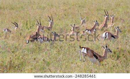 A herd of Thomson's gazelle (Eudorcas thomsonii) running away in Serengeti National Park, Tanzania - stock photo