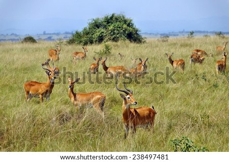 A herd of ugandan kobs in Queen Elizabeth National Park, Uganda - stock photo