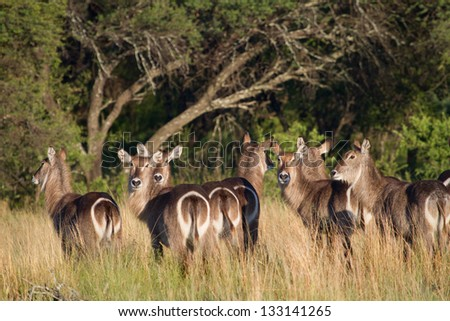 A herd of waterbuck cows standing close together in tall grass