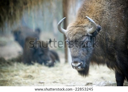a herd of wild bison at the glade - stock photo