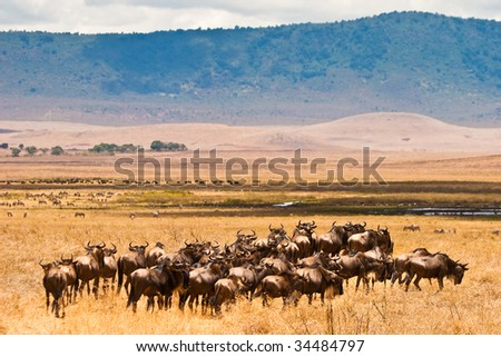 A herd of wildebeest antelopes on the serengeti Tanzania - stock photo