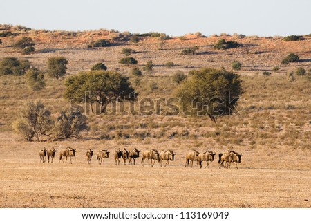 A herd of wildebeest walking in a line to a waterhole - stock photo