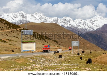 A herd of yaks graze and truck on the road in Tibet under snow mountain, Sichuan, China