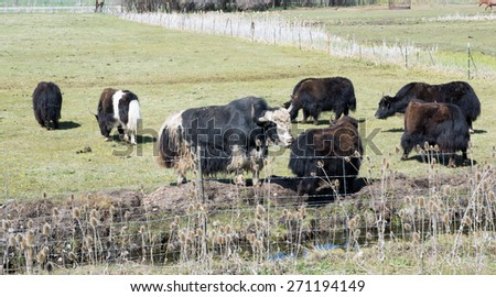 A herd of yaks grazing in the meadow behind the fence - stock photo