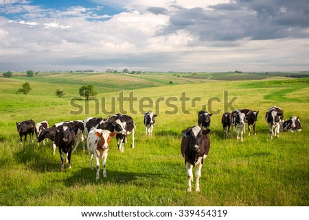 A herd of young cows and heifers grazing in a lush green pasture of grass on a beautiful sunny day. - stock photo