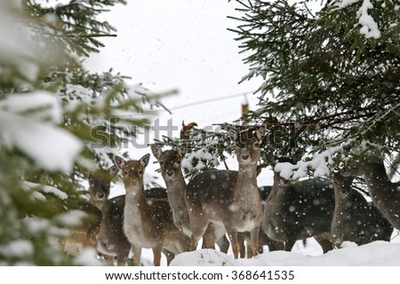 A herd of young doe, female deer, standing in the forest during a snowfall  - stock photo