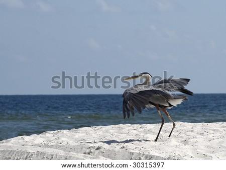 A heron as it lands on the Alabama gulf coast. - stock photo