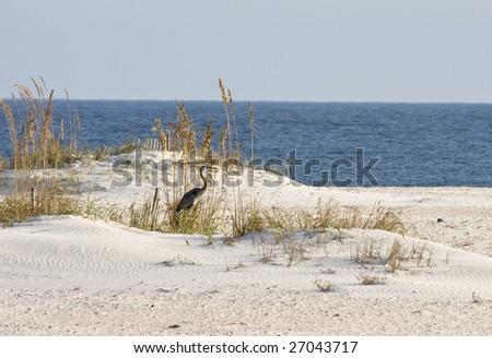 A heron standing among sea oats on the beach. - stock photo