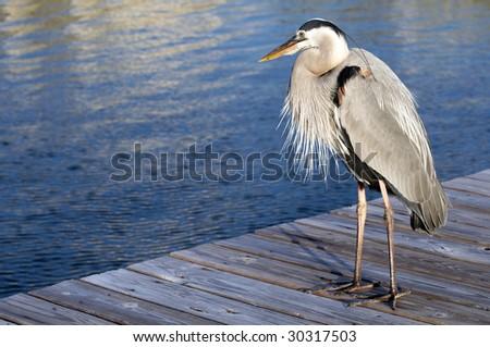 A Heron standing on the dock on the Alabama gulf coast. - stock photo