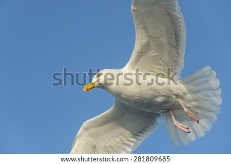 A Herring Gull in flight against a cloudless blue sky.