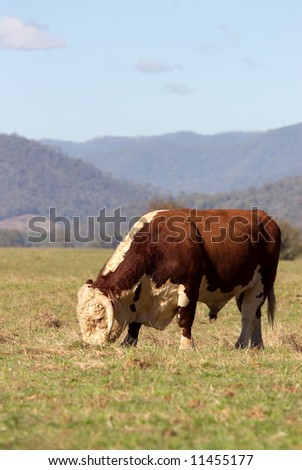 A high country Hereford bull grazing in a paddock. - stock photo