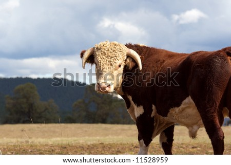 A high country Hereford bull standing in a paddock. - stock photo