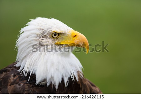 A high resolution image of a confident looking bald eagle with a green background.