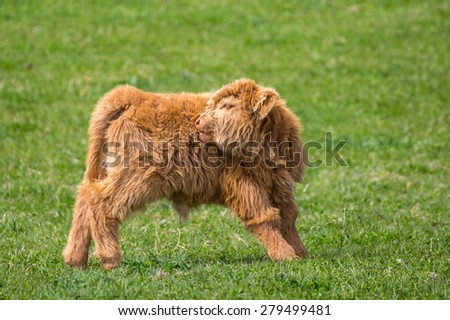 A Highland cattle calf,  against a blurred grassland background, with head turned starting to lick itself - stock photo