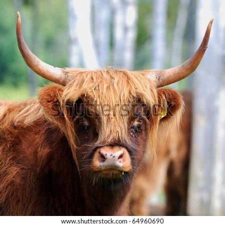 A highland cow looks at the camera.