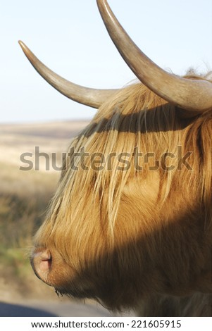 A highland cow that was roaming at Dartmoor - stock photo