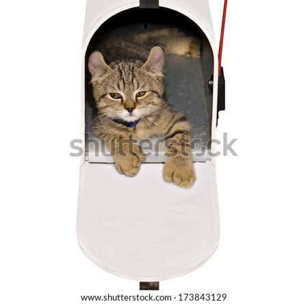 A Highland Lynx tabby kitten with a cute expression lying in a mailbox.  - stock photo