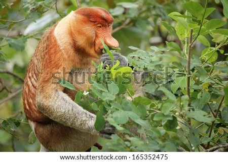 A highly Endangered Proboscis Monkey (Nasalis larvatus) sitting in a tree & eating fresh green leaves in the wild jungles of Borneo. This is a big fat mature male with a huge nose & comical expression - stock photo