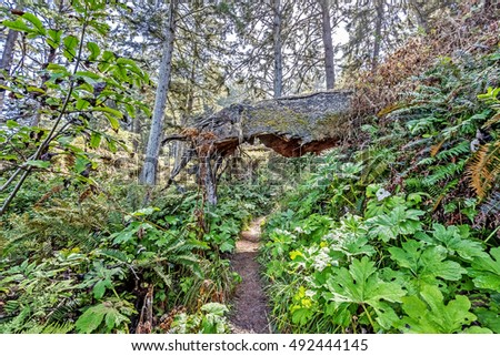 A hiking trail in the Pacific Northwest rain forest, is blocked by a large following tree trunk. Some attempt has been made to hollow it out for access.