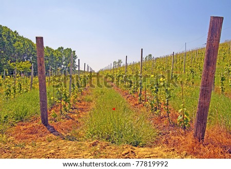 A hill with vineyard under blue sky - stock photo