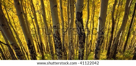 A hillside of aspen trees, in the Uncompahre National Forest of Colorado, with sunlight behind them. - stock photo
