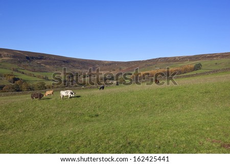 a hillside pasture with dry stone walls in autumn fall with a herd of grazing cows and a scenic backdrop in farndale yorkshire under a clear blue sky - stock photo