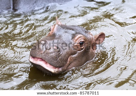 A hippo  - stock photo